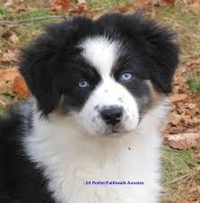 australian shepherd with blue eyes faithwalk aussies the
