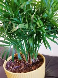 indoor palm hanging indoor plants archives the greenhouse gardener