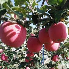 fruit fresh iran fresh fruit iran fresh fruit suppliers and manufacturers at