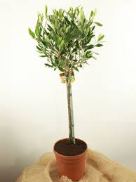 Topiary Plants Online - topiary trees and plants online top topiary