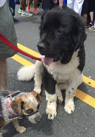 australian shepherd newfoundland the dogs of san francisco page 102 of 262 a blog about san