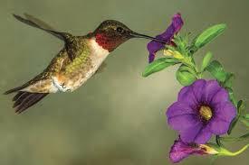 hummingbird flowers plant hummingbird friendly flowers this year cape gazette