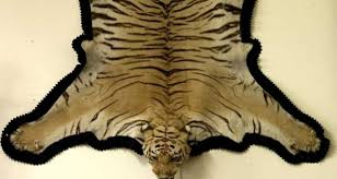 tiger skin from colonial india and portrait of tipperary