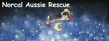australian shepherd los angeles rescue norcal aussie rescue australian shepherd rescue in northern