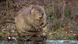leave it to beavers trailer nature pbs youtube