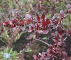 edible ornamentals bestall co