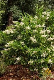 native washington plants great trees and shrubs for screening merrifield garden center