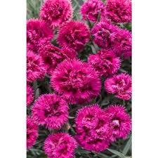 part sun perennials garden plants u0026 flowers the home depot