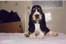 genes and coat coloring page 3 basset hounds basset hound dog