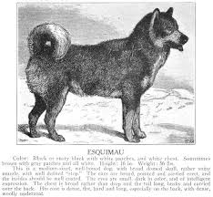 american eskimo dog forum eskimo dog