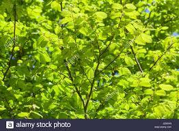 interior columnar european hornbeam elm tree fig tree elm tree