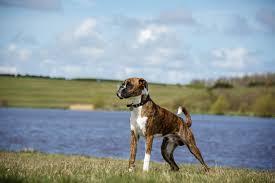 boxer dog quebec boxer dogs breed information omlet