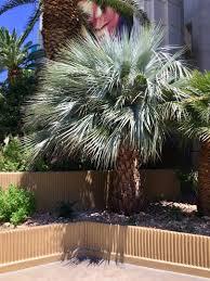 las vegas palm tree pictures travel logs palmtalk