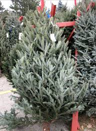 how to pick and place a fresh and fragrant christmas tree wiscontext