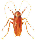light brown roach looking bug pest control cockroaches roaches expert advice
