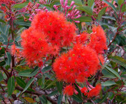 what plants are native to australia australian native christmas trees the gardenistas