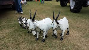 Goat Decor North Star Boer Goats