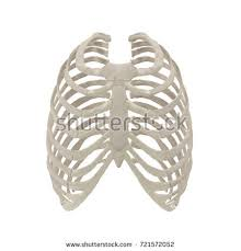 ribcage stock images royalty free images vectors