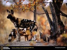 african wild dog picture african wild dog desktop wallpaper free