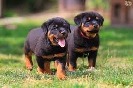 rottweiler wallpapers pics pictures images photos wallpapers9