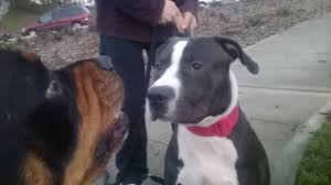 american pitbull terrier rottweiler mix pit bull vs rottweiler huge rottweilers vs bully youtube