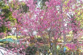 kodaikanal s famed plum trees in bloom the hindu