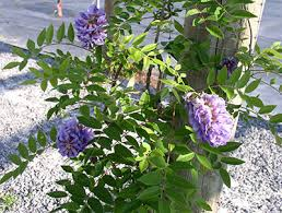 Non Invasive Climbing Plants - wisteria university of florida institute of food and
