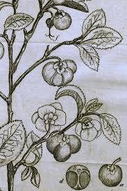 illustration of camellia sinensis from linnaeus u0027s u0027amoenitates