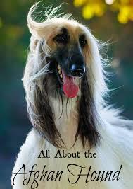afghan hound saddle afghan hound large hypoallergenic dog breed hypoallergenic dog