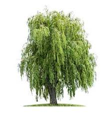 weeping willow definition and meaning collins dictionary
