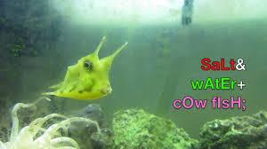 longhorn cowfish in saltwater fish tank home aquarium setup as