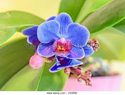 Blue Orchid Flower - vanda blue orchid flowers stock photos u0026 vanda blue orchid flowers