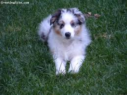 australian shepherd double merle a photo of a 2 months old blue merle australian shepherd