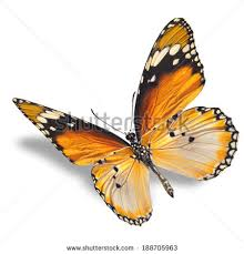 butterflies flying stock images royalty free images vectors