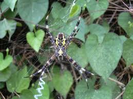 woman eating spiders in maui by shawna coronado