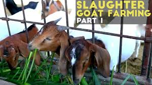 slaughter goat farming part 1 slaughter goat farming in the