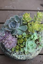13 succulents that are native succulents in a shallow glass bowl succulent pots pinterest