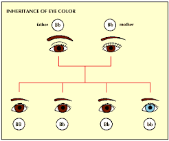 dominant genes vs recessive genes jones u0027 classroom blog