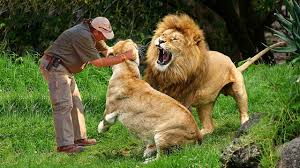 wild animals images Man play with lions at the zoo wild animals communicating with jpg