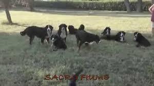 australian shepherd e bovaro del bernese kennel sacro fiume wacky races youtube