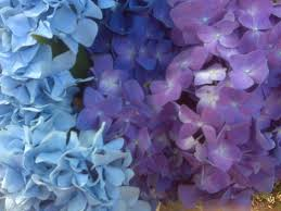 purple and blue flowers purple blue hydrangeas with lavendar boquet for weeks now