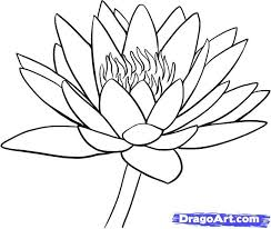 drawn lily flower leave pencil and in color drawn lily flower leave
