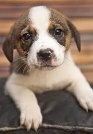 australian shepherd puppy 2 months the 141 best images about puppy on pinterest