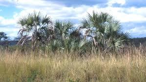 Tropical Savanna Dominant Plants - savanna biome plantz africa