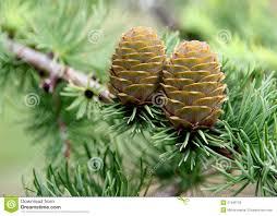 pine cone tree stock image image of nature needles 27499733