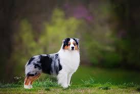 black n blue australian shepherds faithwalk aussies available puppies