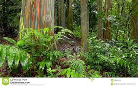 rainbow eucalyptus trees in hawaiian rainforest stock photo