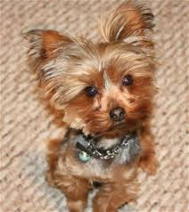 how to cut a yorkie poo s hair how to cut a yorkie poo s hair 25 best ideas about poodle mix