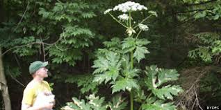 What Can Cause Blindness Giant Hogweed Plant May Cause Blindness Severe Skin Irritation