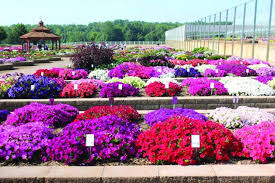 home depot and lowes point setters black friday sale home depot greenhouse grower